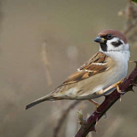 Tree Sparrow by Ian Billenness (ianbillenness)) on 500px.com
