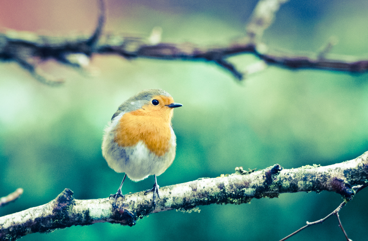 Photograph Robin in the winter by Gilbert Fortune on 500px