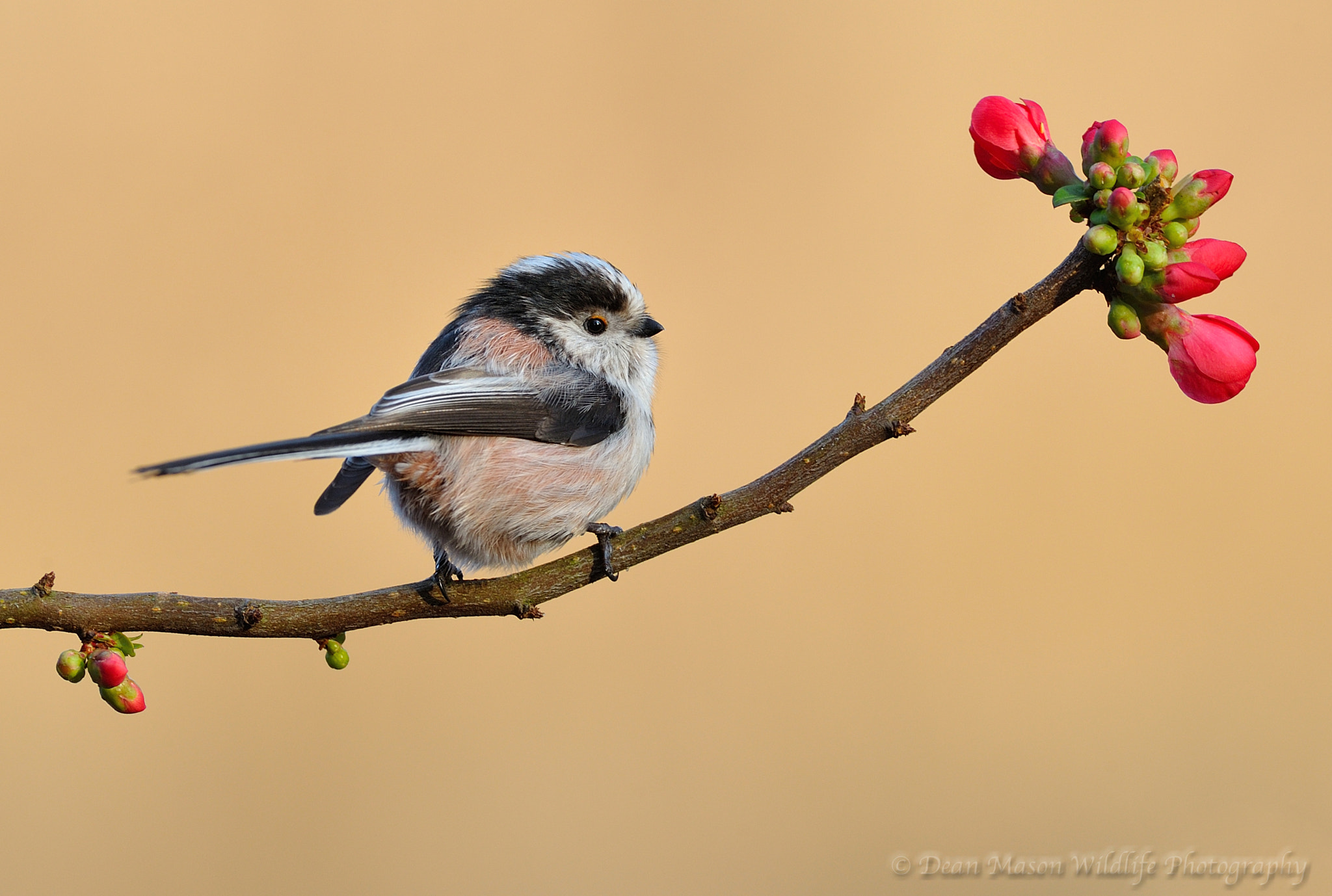 Photograph Long Tailed Tit on Japanese Quince II by Dean Mason on 500px