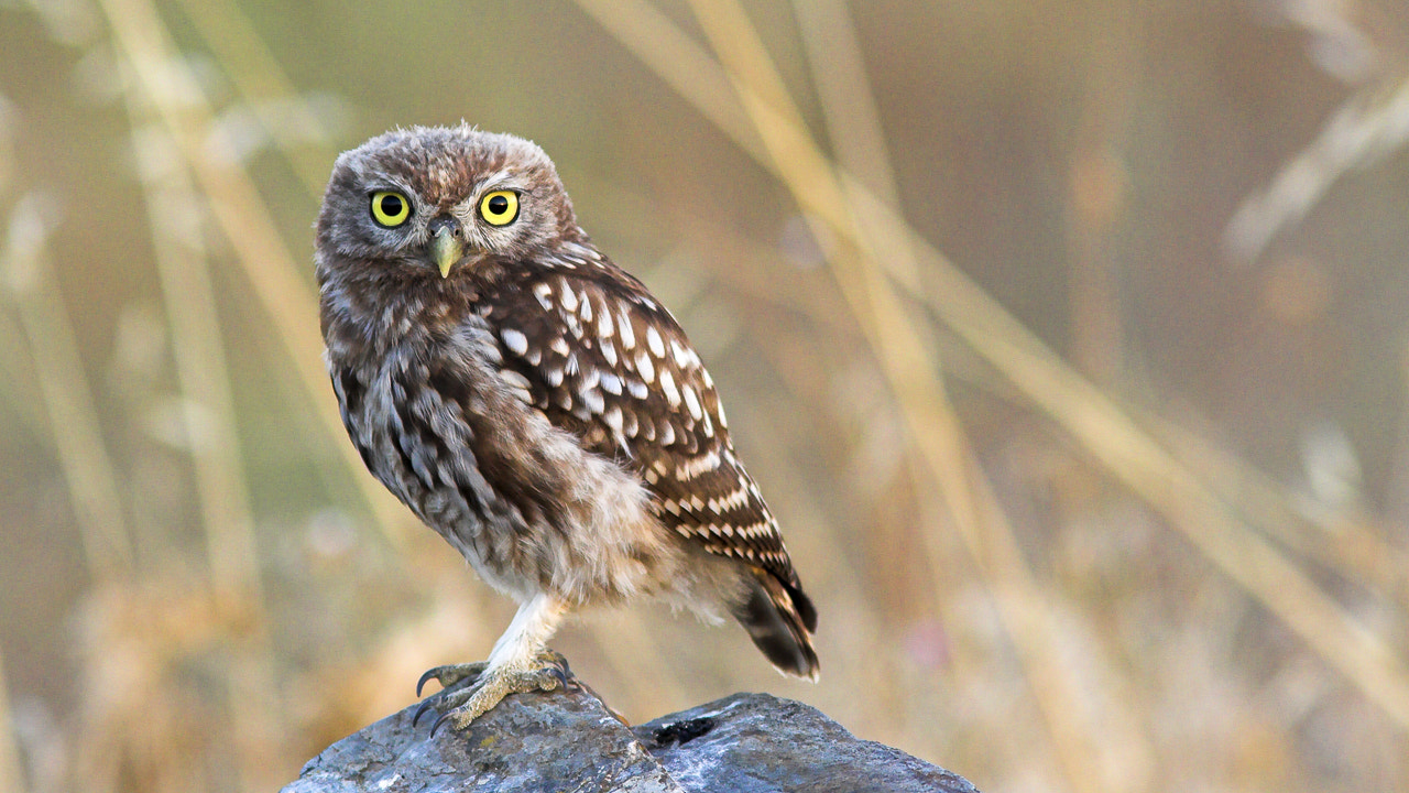 Photograph Little owl by Javier Abad on 500px