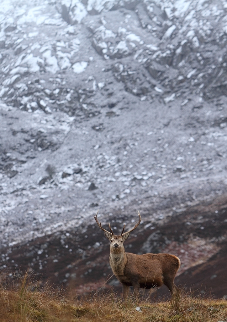 Photograph Scottish Red Deer Stag by Andy Howard on 500px