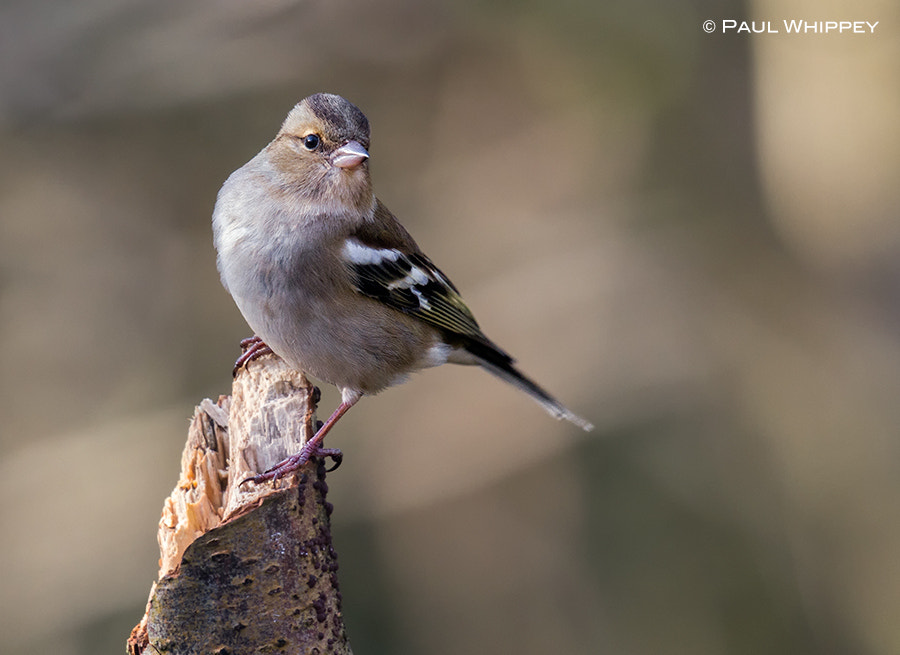 Photograph Female chaffinch (Fringilla coelebs) by Paul Whippey on 500px
