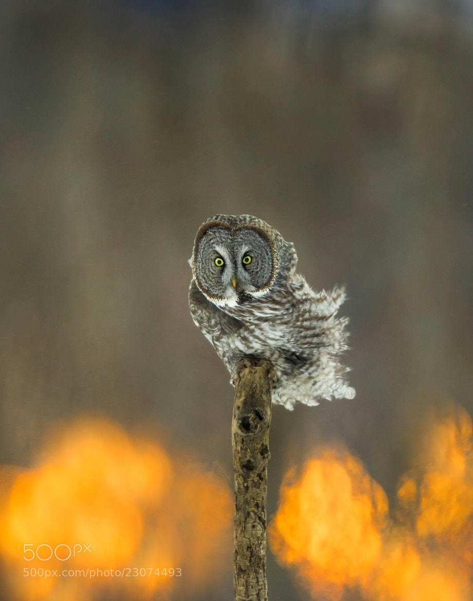 Photograph Great Grey Owl ''Sunrise'' by Sylvie Jacques on 500px