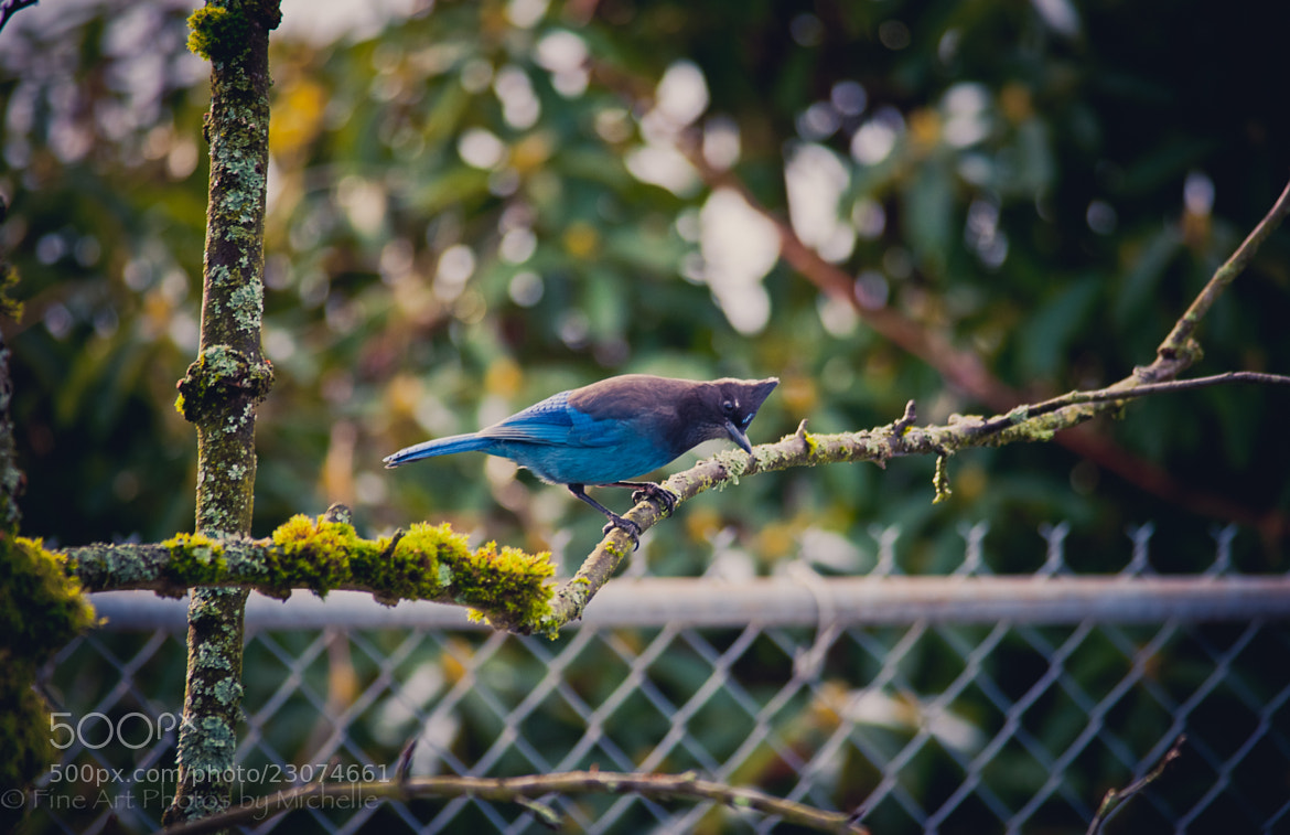 Photograph Sneaky Steller Jay by Michelle Stevenson on 500px