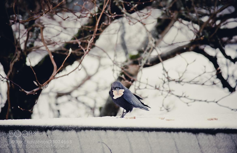 Photograph Gluttonous Crow by Michelle Stevenson on 500px