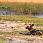 An African wild dog in the sunset
