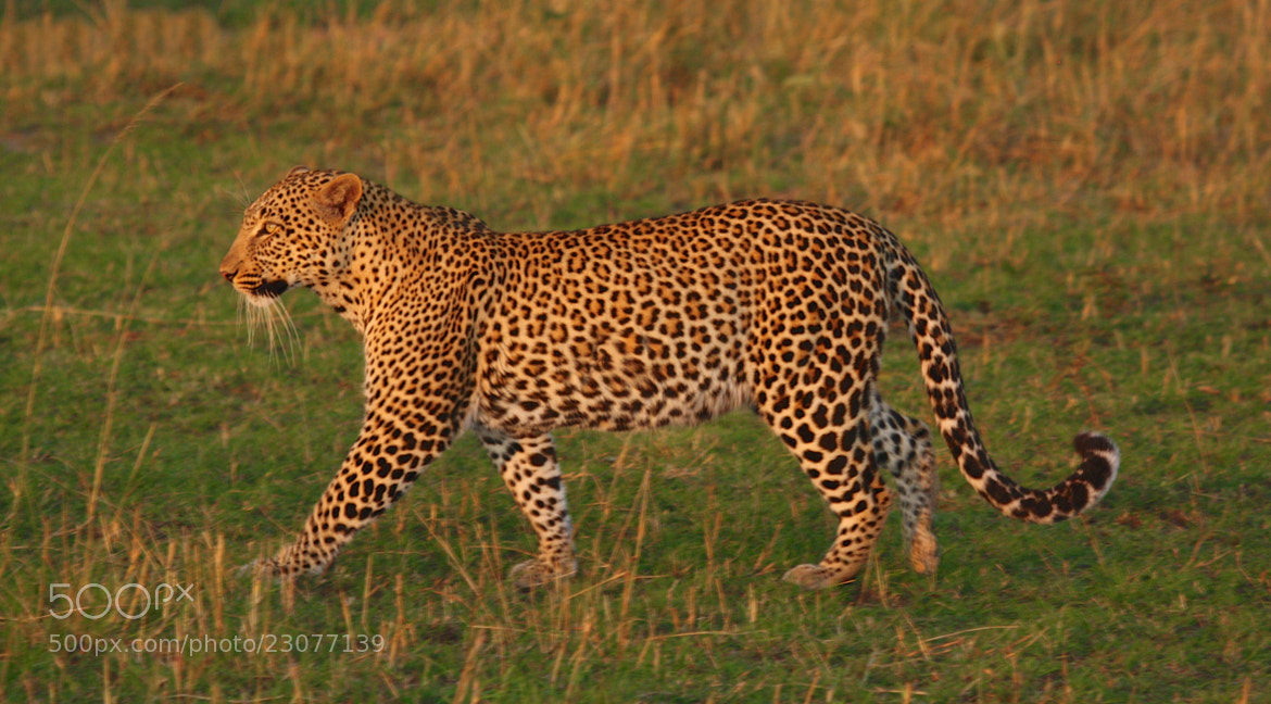 Photograph Leopard by William Evans on 500px