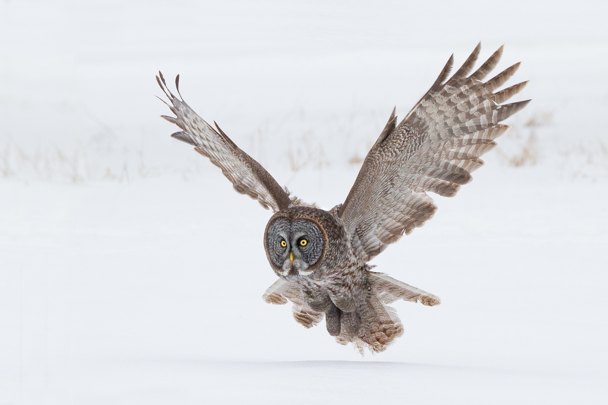 Photograph Great Gray Owl Approach. by Daniel Cadieux on 500px