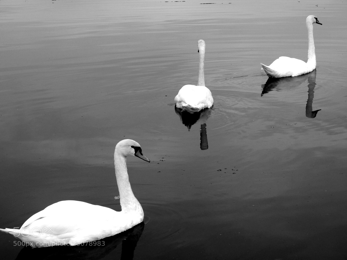 Photograph swans by gabriele.x7  on 500px
