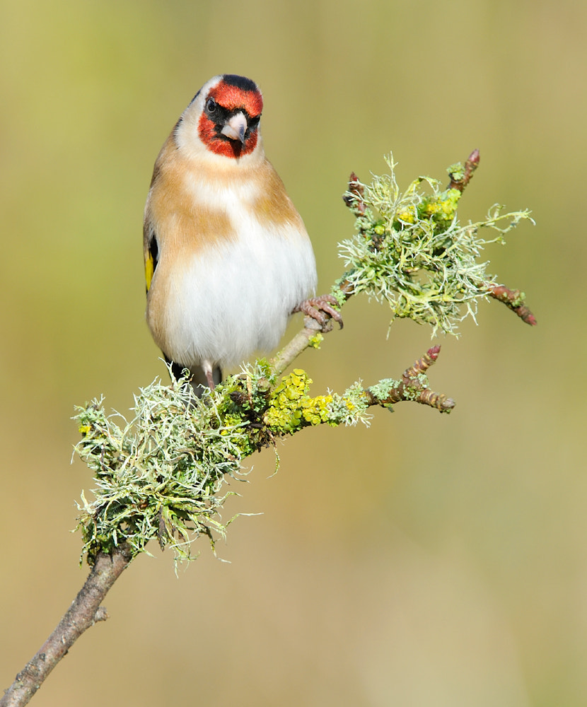 Photograph Goldfinch  ( Carduelis carduelis ) by Kevin  Keatley on 500px