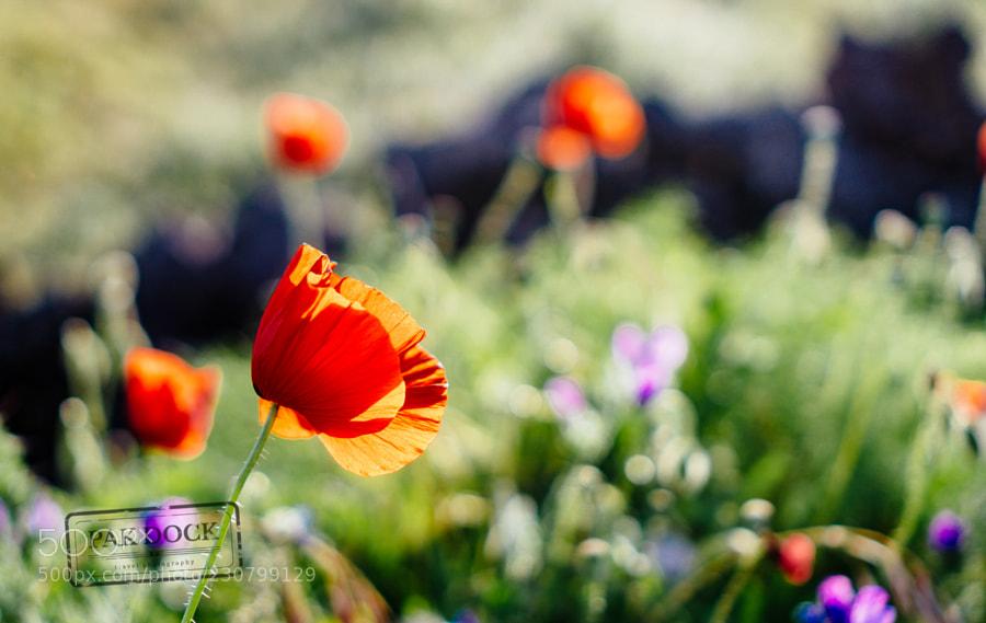 Poppy field - El Hierro