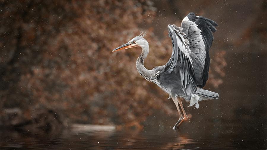 gray heron, автор — Detlef Knapp на 500px.com