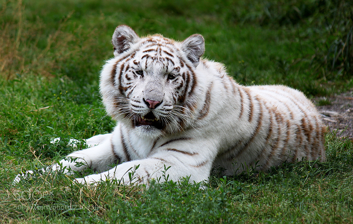 Photograph White Tiger by Brian Masters on 500px