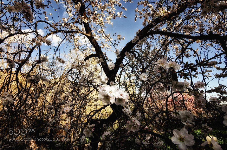 Photograph Los Almendros en Flor by Javier Parra on 500px