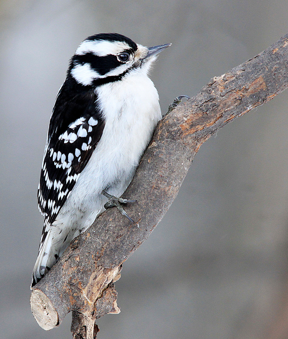Photograph Woodpecker on branch by Brian Masters on 500px