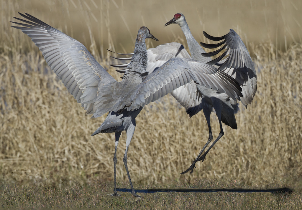 Photograph Crane Dancing by Duke Coonrad on 500px