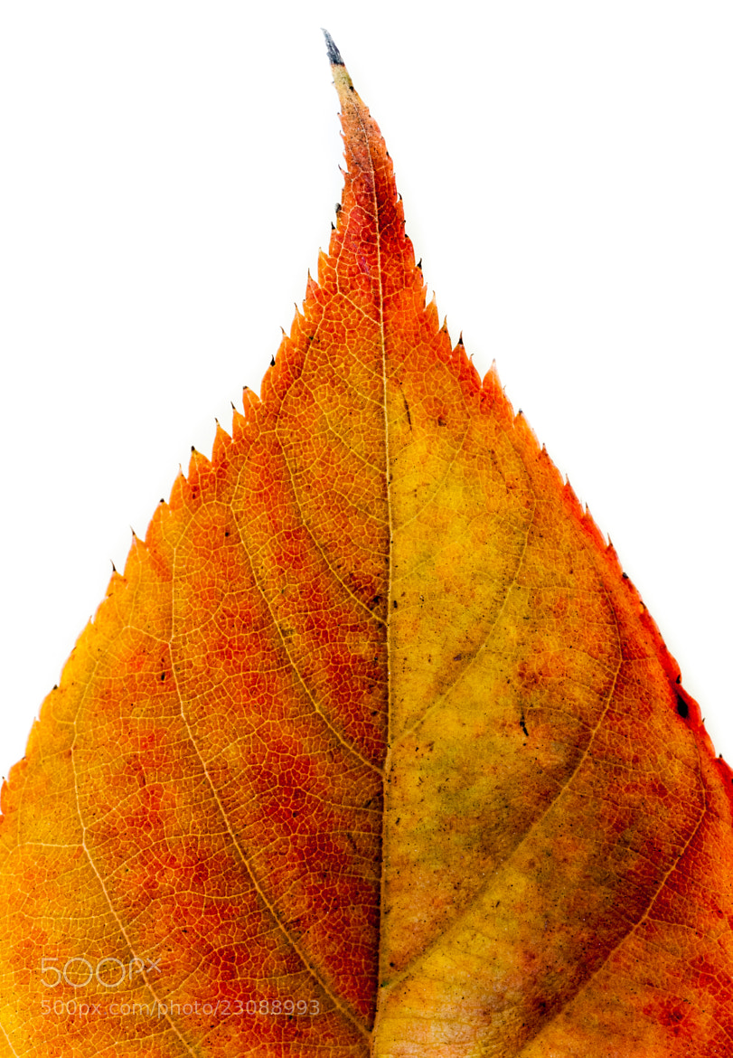 Photograph Leaf by Frozen Canuck on 500px