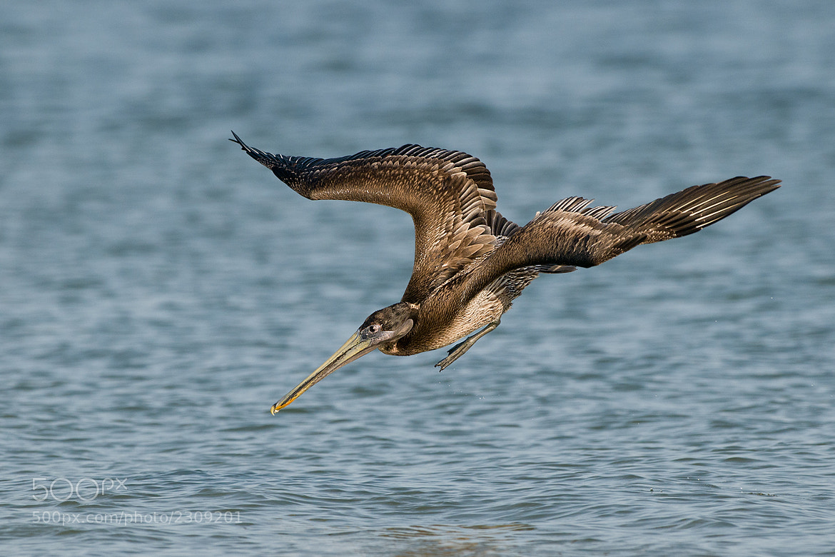 Photograph Brown Pelican by Joe Iocco on 500px