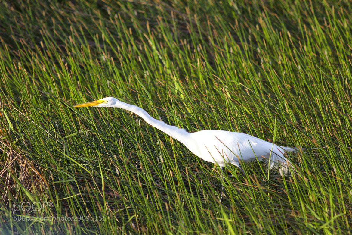 Photograph Stalking Egret by Chris Foster on 500px
