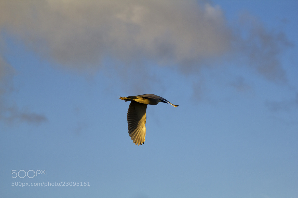 Photograph Night Heron by Chris Foster on 500px