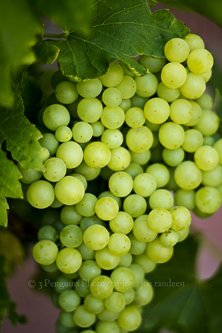 Photograph Grapes by Joe Randeen on 500px