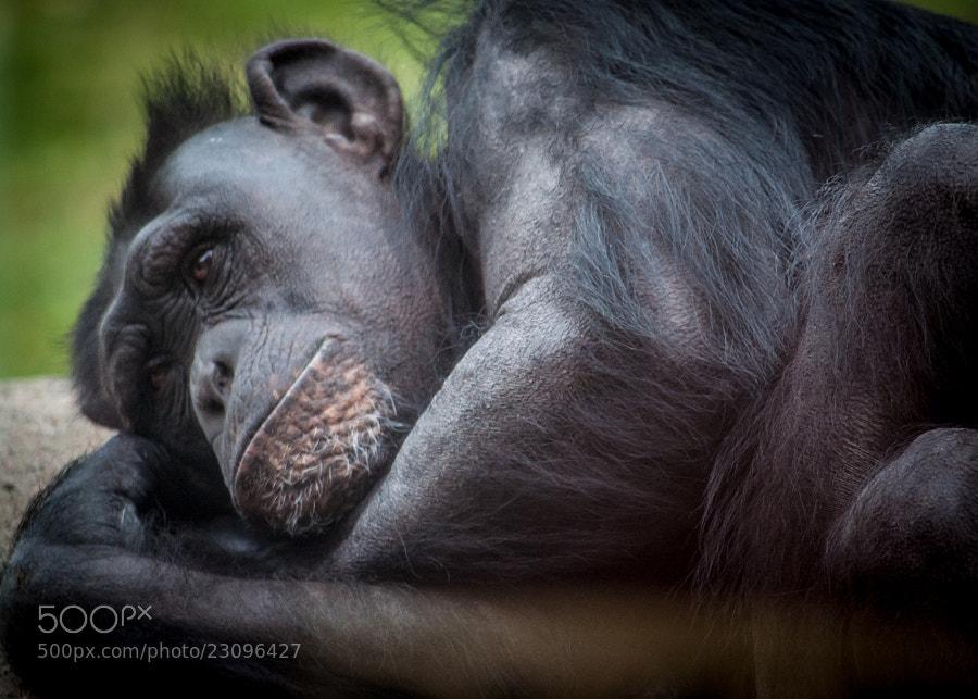 Bored looking chimpanzee.