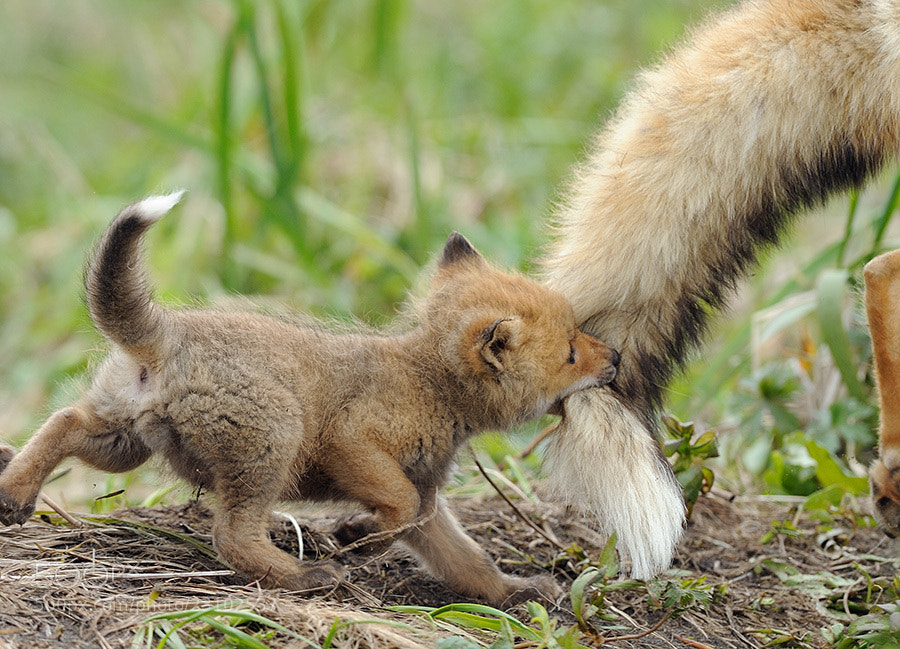 Photograph My fathers tail is my favorite toy! by Igor Shpilenok on 500px