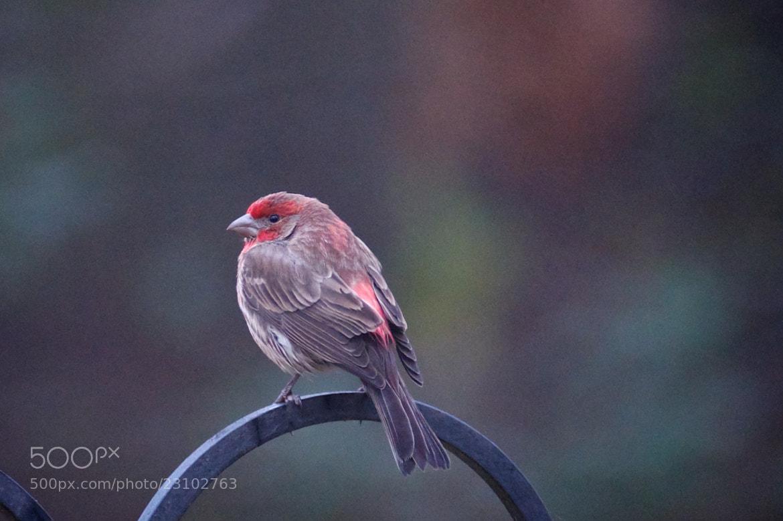 Photograph Purple Finch by Cory Zanker on 500px