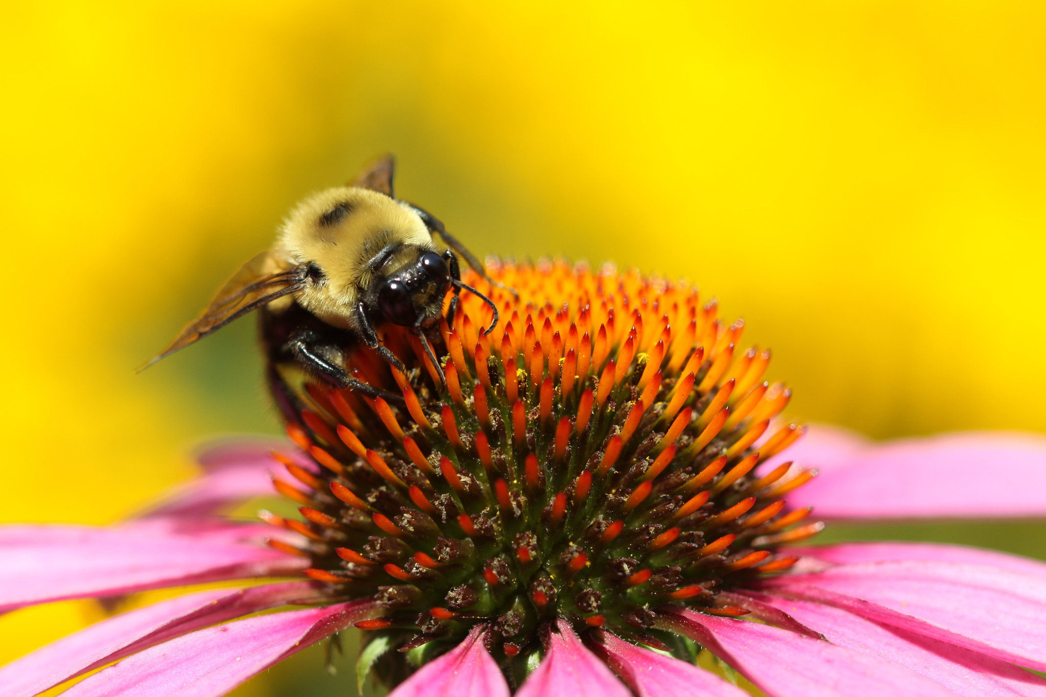 Photograph Bee On Pink In Yellow World by Kenneth  Maurer on 500px