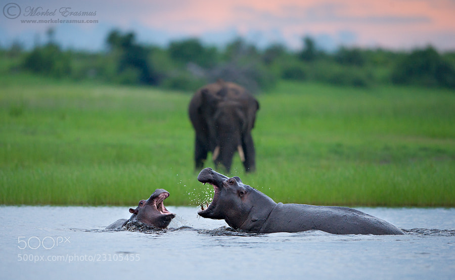 Photograph Chobe Clash by Morkel Erasmus on 500px