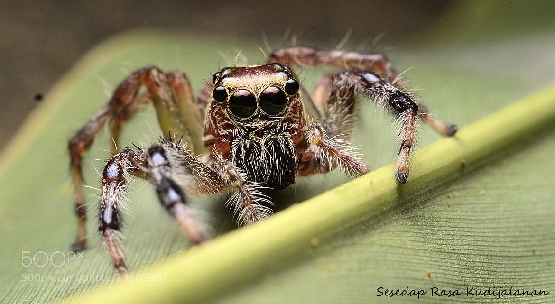 Photograph Jumper Spider by Sesedap Rasa Kudijalanan on 500px