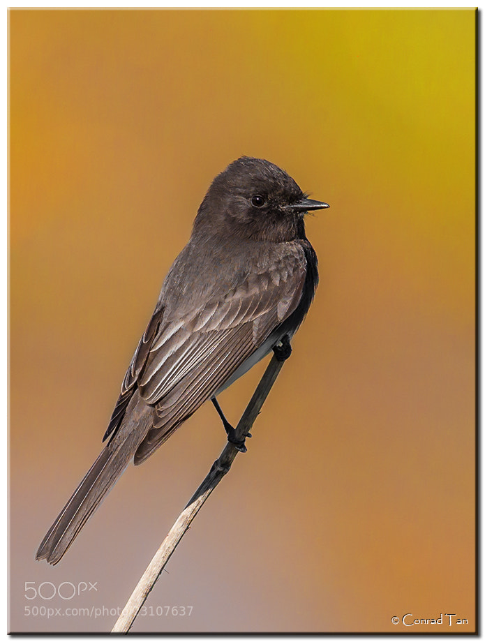 Photograph Black Phoebe by Conrad Tan on 500px