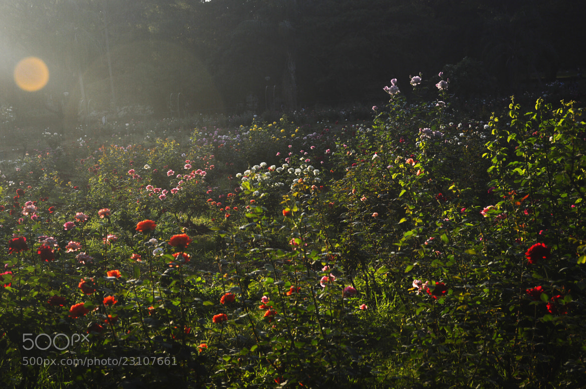 Photograph Rose garden by sajan Laks on 500px