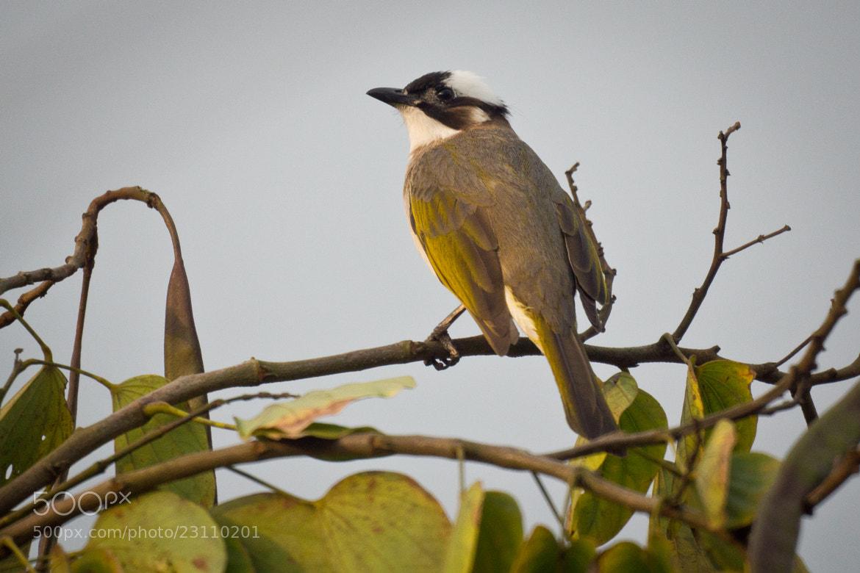 Photograph Pycnonotus sinensis白頭翁 by 阿民 曾 on 500px