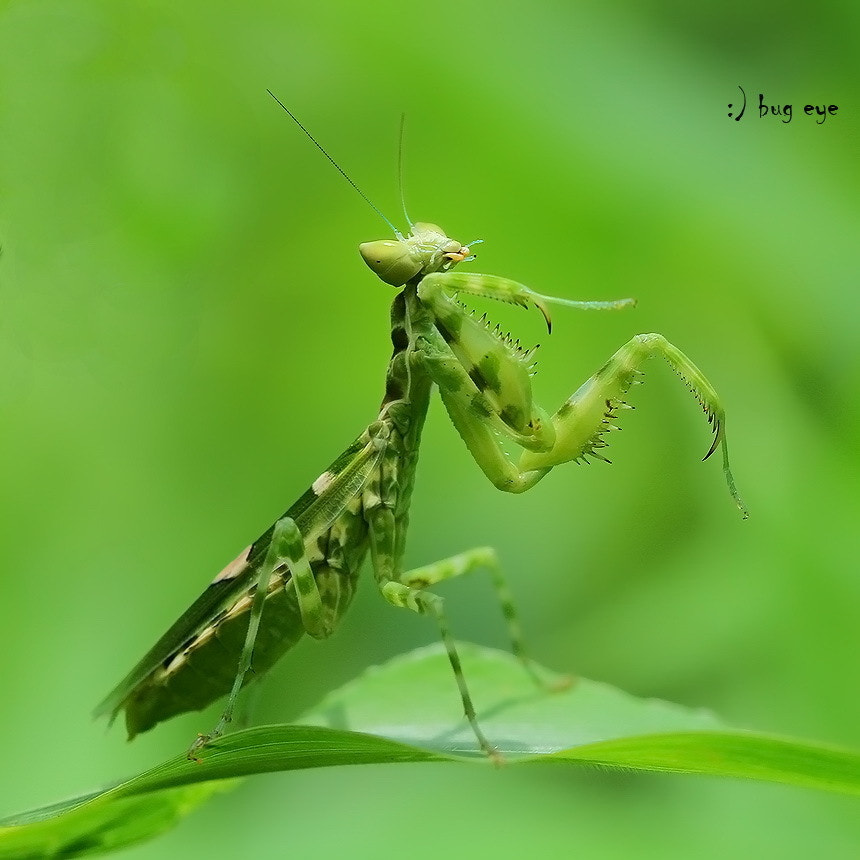 Photograph kang fu Mantis ! by bug eye :) on 500px