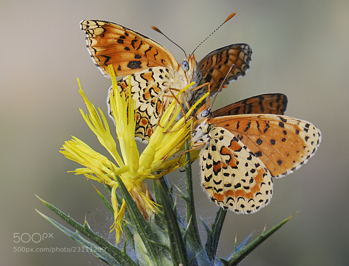 Photograph melitaea by mauro maione on 500px