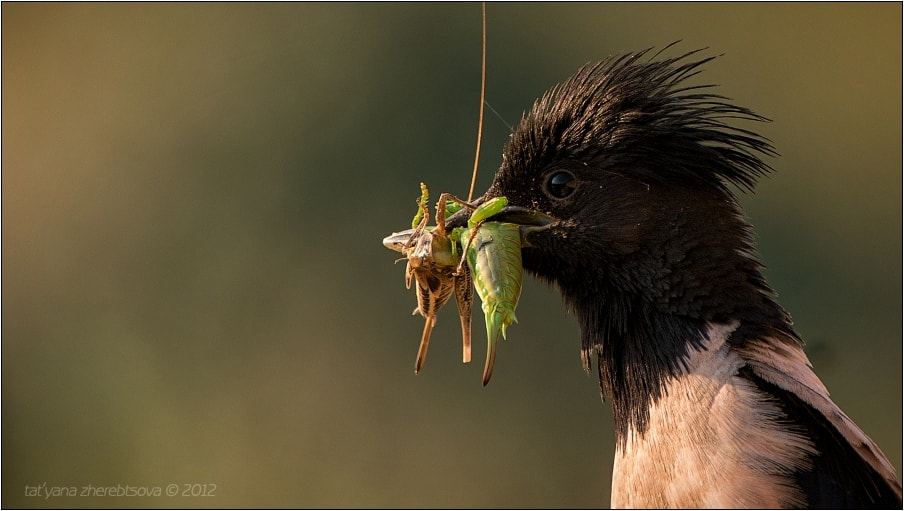 Photograph Rosy Starling by Tat'yana Zherebtsova on 500px