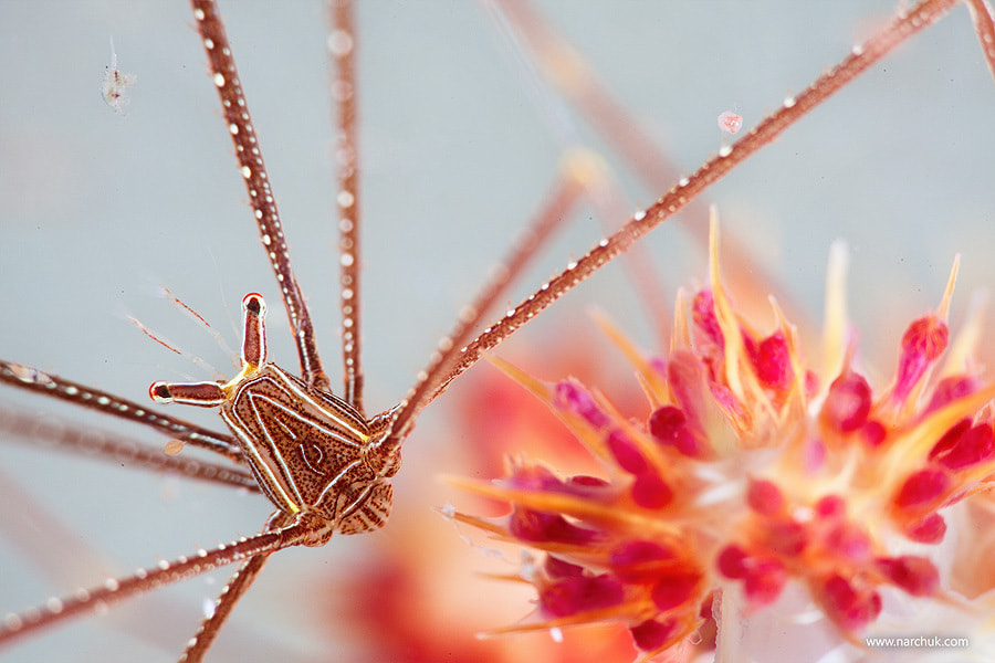 Photograph Crab flower by Andrey Narchuk on 500px