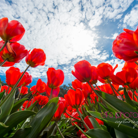 All about tulips... #elfsphotography