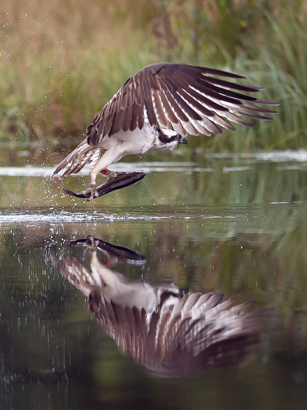 Photograph Osprey_Take Off by Terry Cavner on 500px