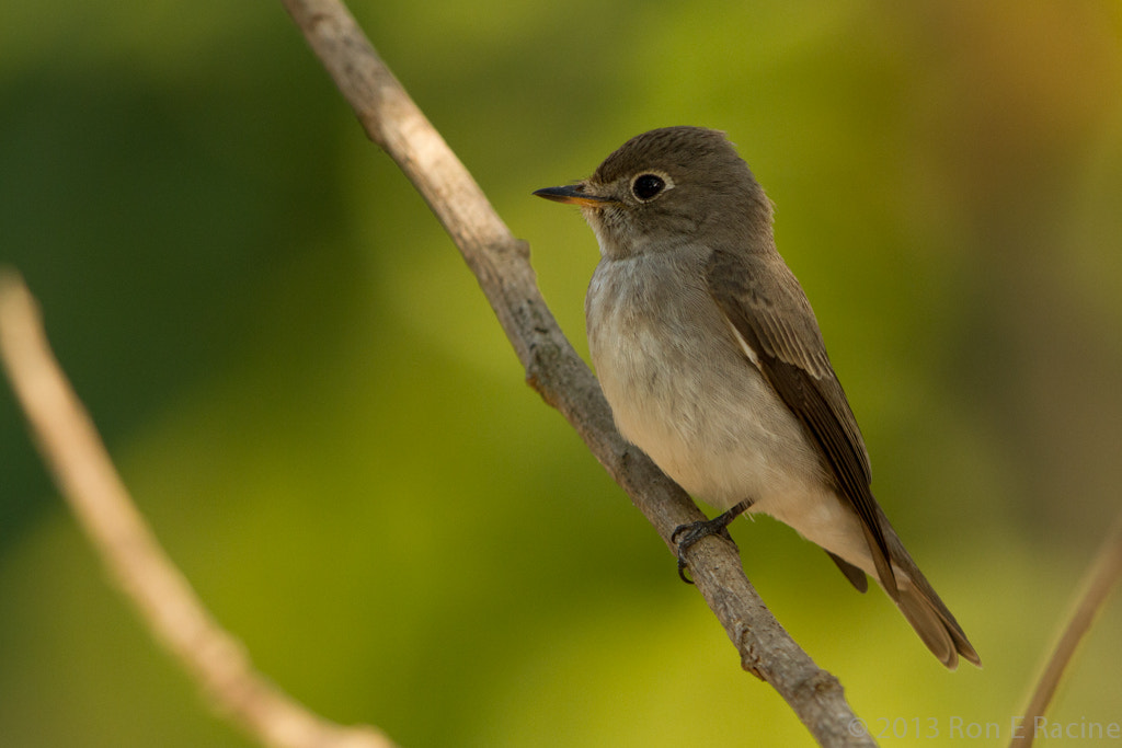 Photograph Asian Brown Flycatcher by Ron E Racine on 500px