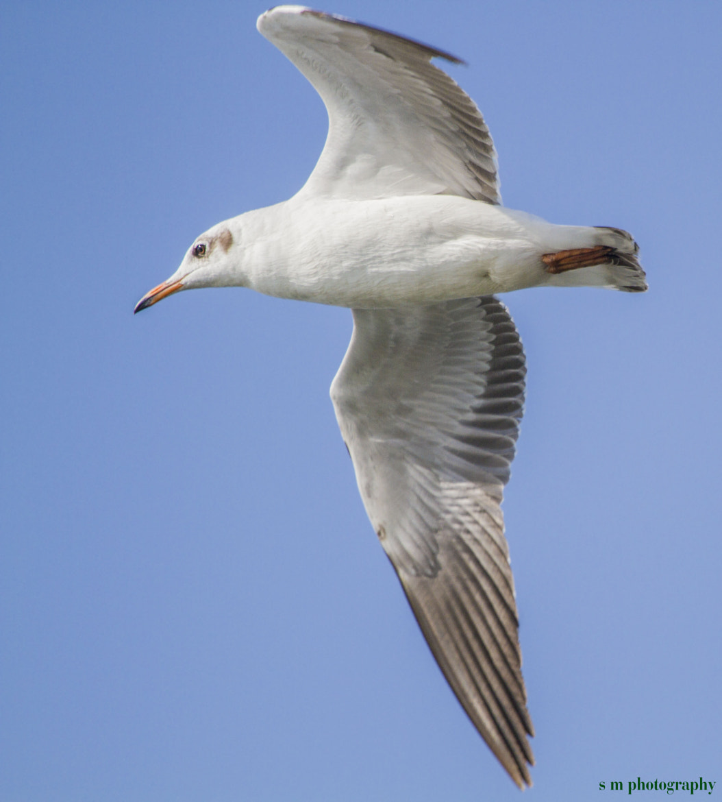 Photograph Brown headed Gull by Santosh Mulik on 500px