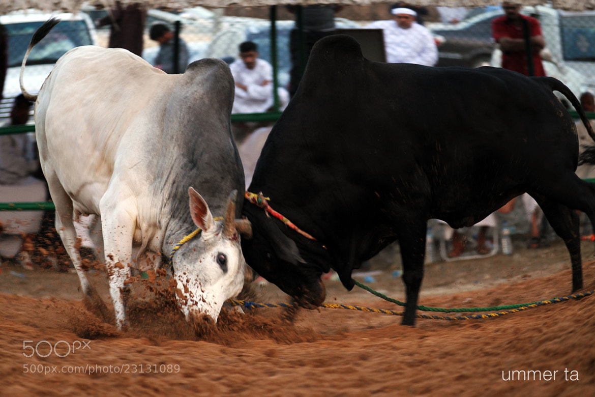 Photograph bull fight by Artist Ummer Ta  on 500px