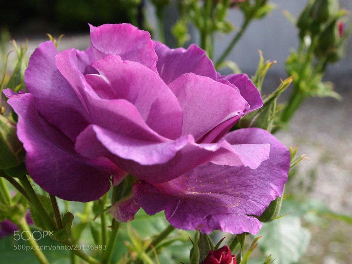 Photograph Purple Rose by Benjamin Evald on 500px