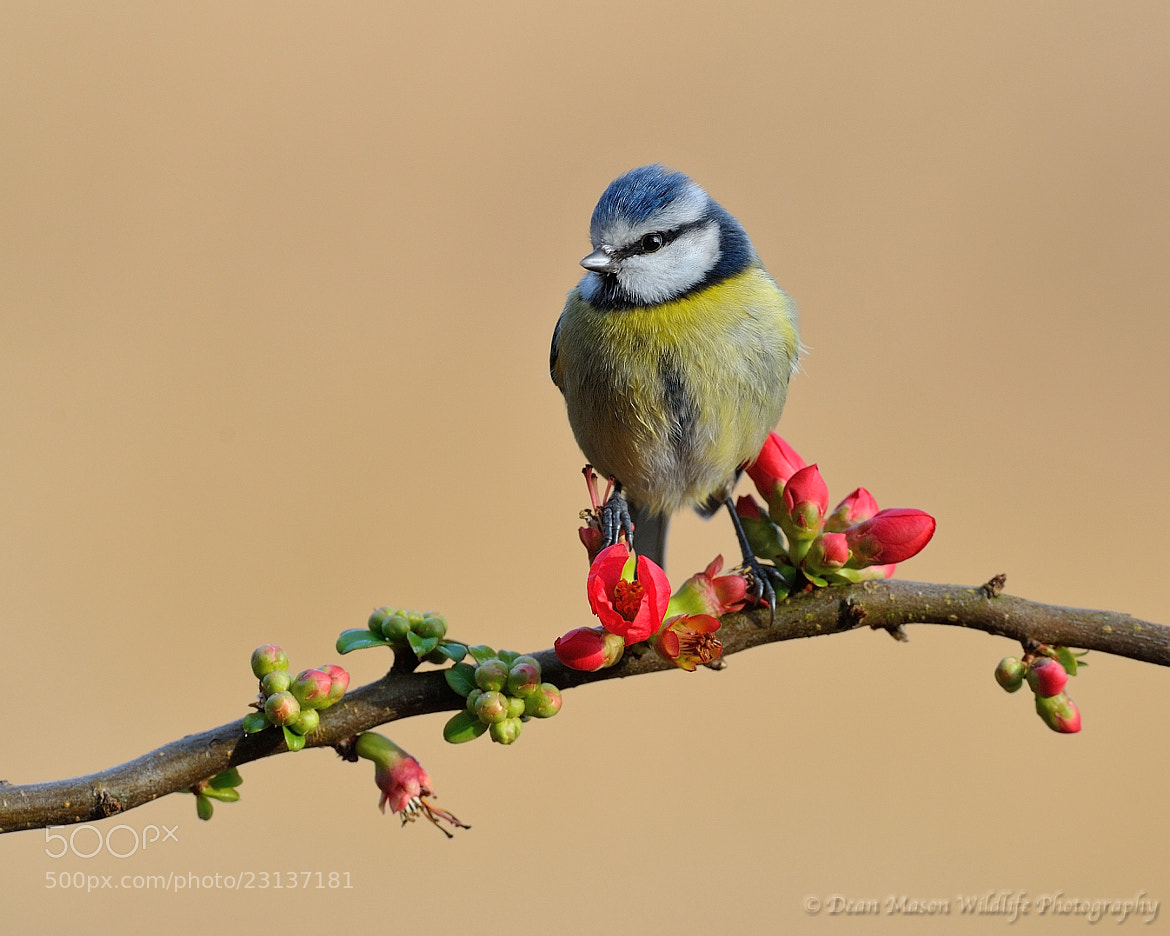 Photograph Blue Tit on Japanese Quince by Dean Mason on 500px