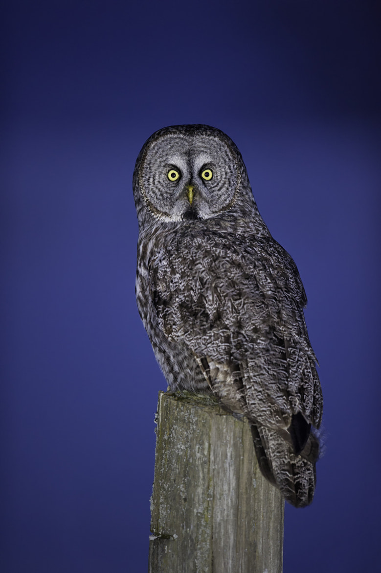 Photograph Great Grey Owl on Post by Daniel Parent on 500px