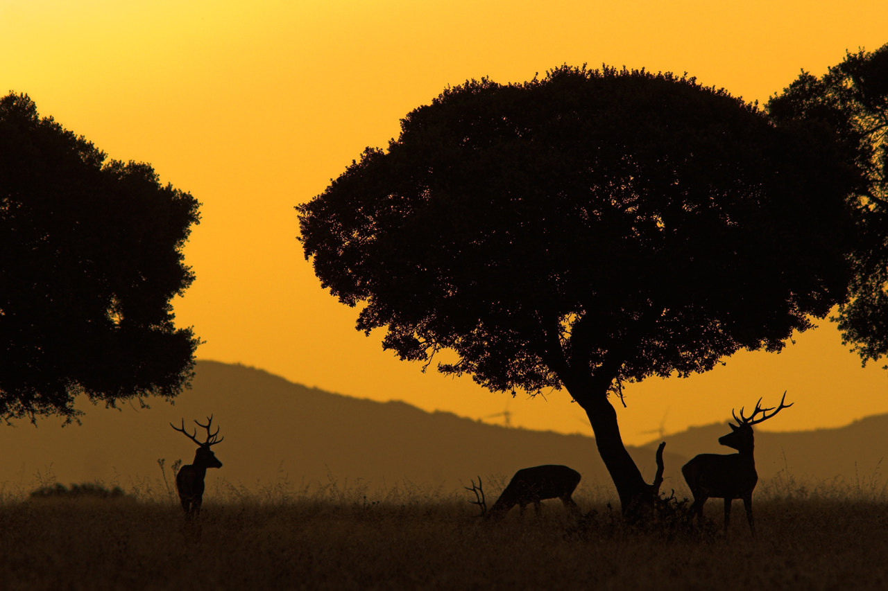 Photograph Deers at sunset by Javier Abad on 500px