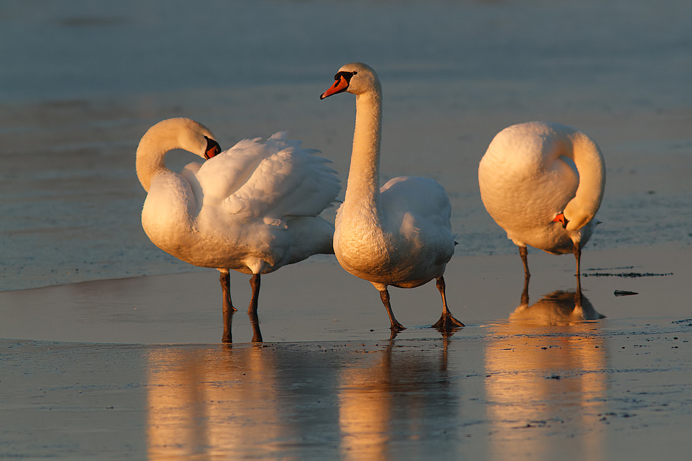 Photograph Beauties on ice! by Tom  Kruissink on 500px