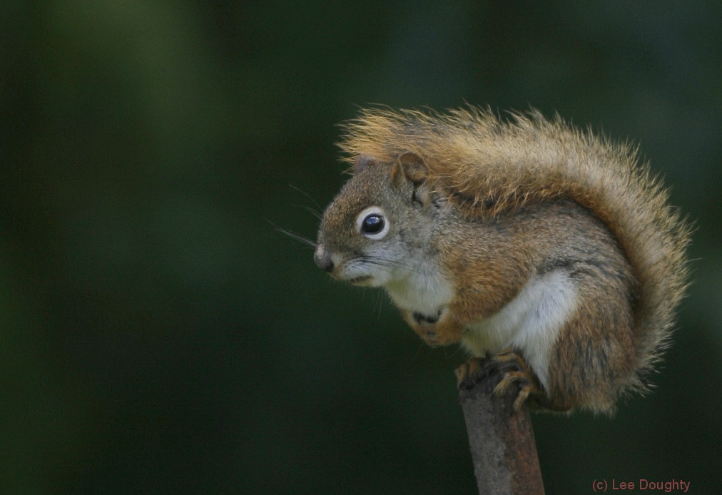 Photograph Red Squirrel by Lee Doughty on 500px