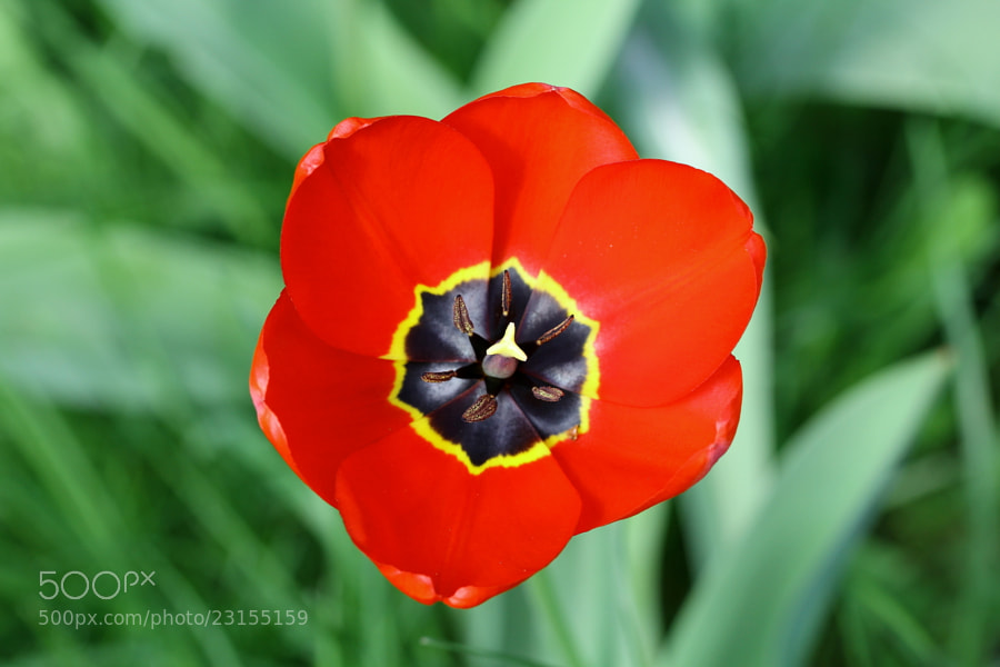Photograph tulip by Ralf Muhl on 500px